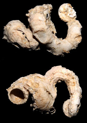 Vermetus triquetrus, Macchia della Turchina.