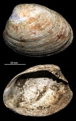 Venerupis senescens, Macchia della Turchina (Monteromano, VT)