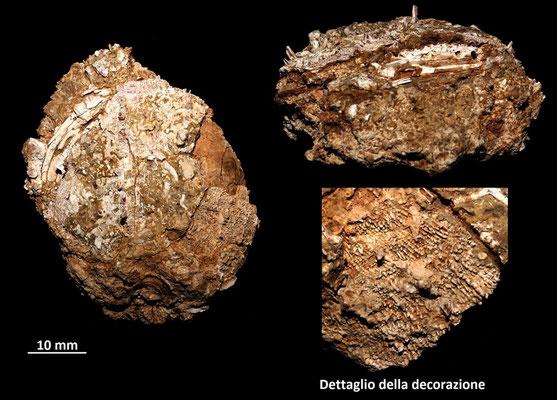 Spondylus gaederopus, Sant'Agostino (Civitavecchia, RM)