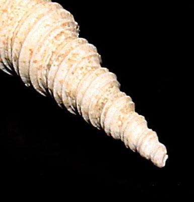 Turritella tricarinata cfr. tricarinata, torrente Stirone, dettaglio dell'apice