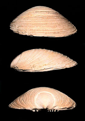 Limopsis aurita, Quattro Castella (RE), Pliocene