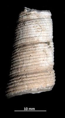 Frammento di Haustator vermicularis, Vignola (MO)