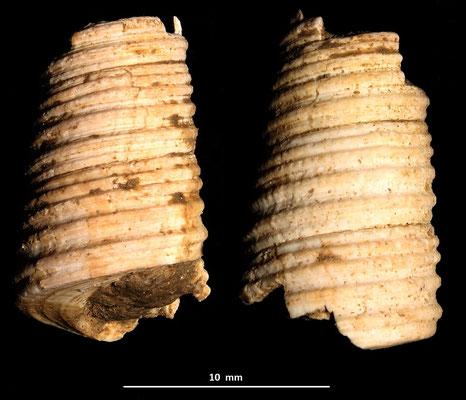 Haustator vermicularis, colline di Tarquinia (VT)