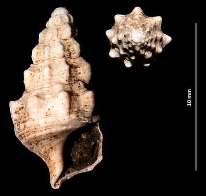 Cerithium cfr. varicosum, Sant'Agostino (Civitavecchia, RM)