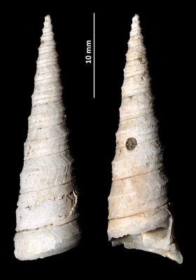 Turritella subangulata, Vignola (MO)