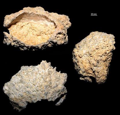 Spondylus gaederopus dalle calcareniti di Tarquinia (VT)
