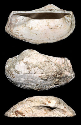 Arca noae, Macchia della Turchina (Monteromano, VT)