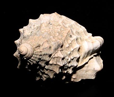 Frammento apicale di Charonia appenninica (Quattro Castella, RE)