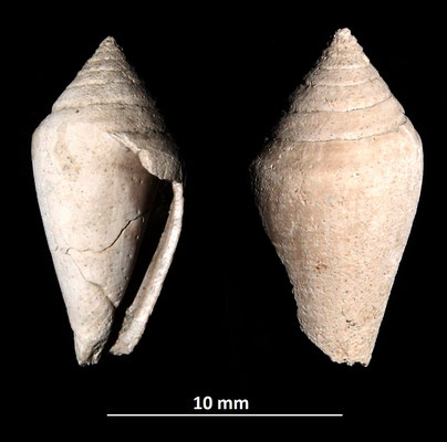 Conus striatulus, Vignola (MO)