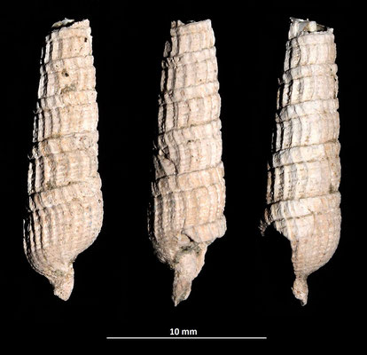 Strioterebrum pliocenicum, Vignola (MO)