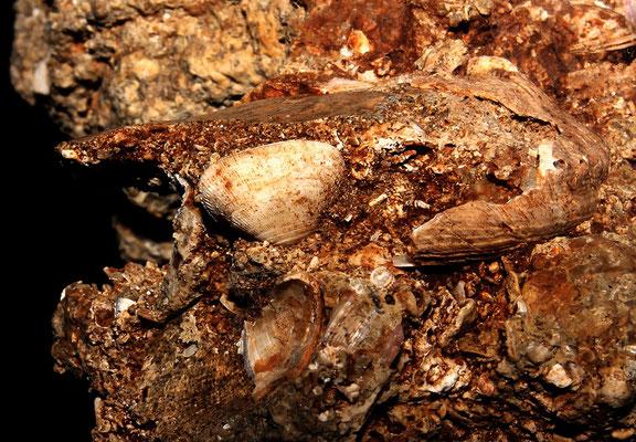 Striarca lactea dentro Haliotis tuberculata, Sant'Agostino (Civitavecchia, RM)