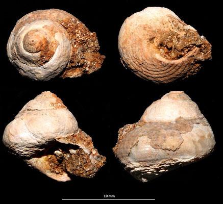 Clanculus corallinus, Sant'Agostino (Civitavecchia, RM)