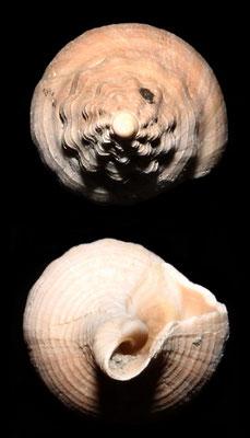 Euthria cornea, Vignola (MO)
