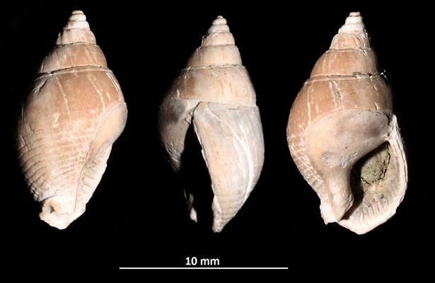 Nassarius semistriatus, Vignola (MO)