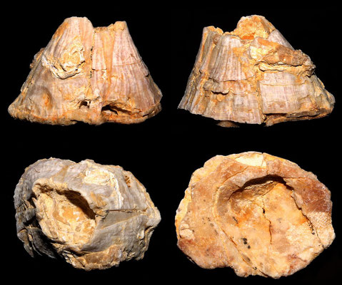 Balanus cfr. concavus, Tarquinia (VT)