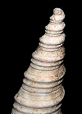 Apice di Turritella tricarinata, Vignola (MO)