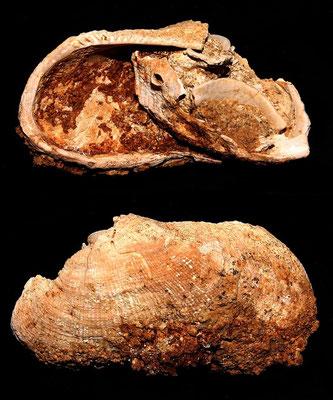 Barbatia barbata e Haliotis tuberculata, Sant'Agostino (Civitavecchia, VT)