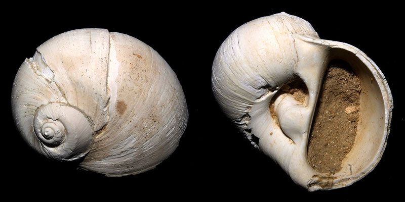 Cochlis sp. dalla Macchia della Turchina