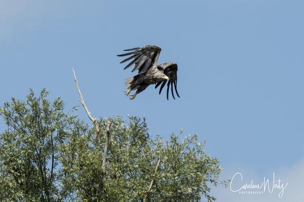 Moeder zeearend vliegt weg richting nest