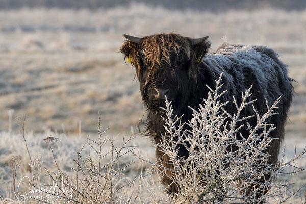 Ogen fotograferen is wel een dingetje door de lange manen van de Schotse Hooglanders