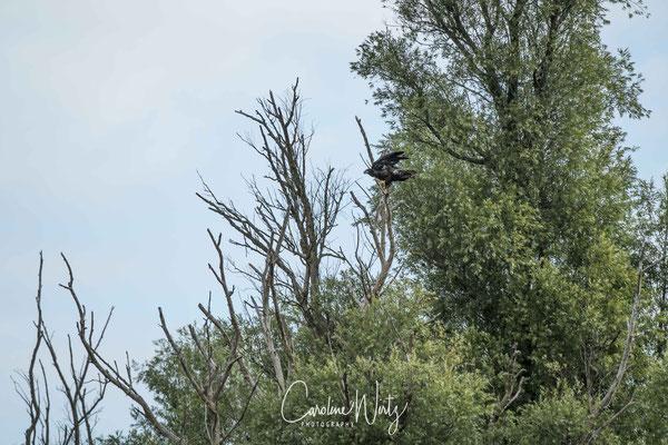 De jonge zeearend landt in de boom en onderneemt vliegpogingen