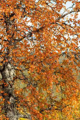 Birke im Herbstkleid
