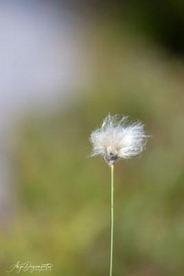 Wollgrass