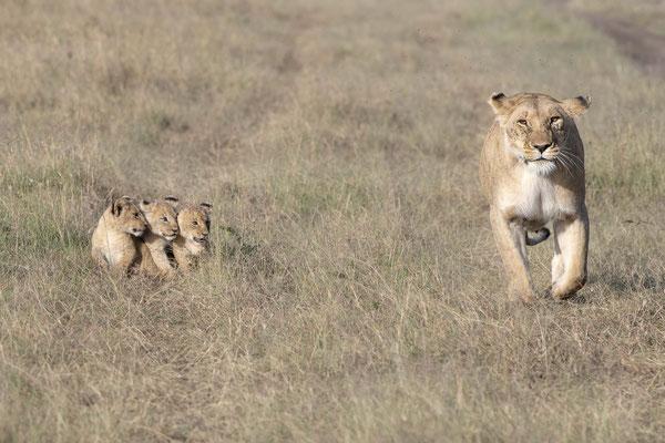 Löwen Baby in der Masai Mara, Kenia fotografiert Uwe Skrzypczak