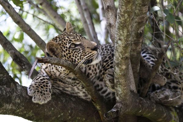 Wie auf Bestellung klettert der kleine Leopard direkt vor unseren Fahrzeug und fast in Augenhöhe auf einen Baum