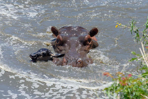 The Hippo bull swims with booth calf in it's mouth to the more shallow water Der Hippobulle schwimmt mit beiden getöteten Gnukälbern im Maul ins seichtere Wasser ©Uwe Skrzypczak, D. M. Tours Photo Safari & Workshop Maasai Mara,