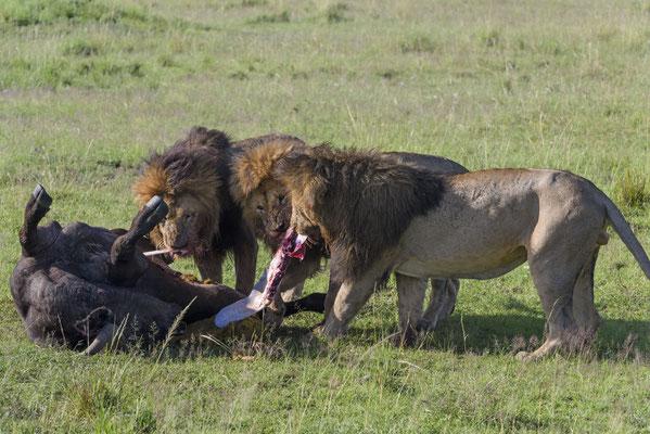 Die drei Brüder von Scarface an einem frisch gerissenen Büffel