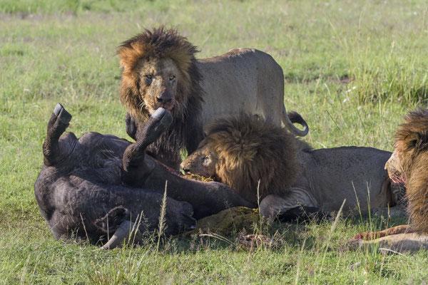 Nach meinem Geschmack werden diese drei Löwen keinen Schönheitswettbewerb gewinnen