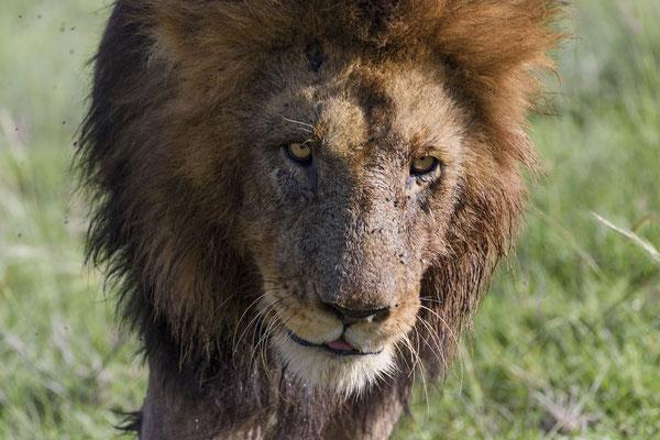 Einer der Scarbrothers interessiert sich auf einmal nicht mehr für das üppige Büffelfrühstück, denn er im Gras vermutlich Urin einer läufigen Löwin entdeckt und versucht, die Witterung aufzunehmen