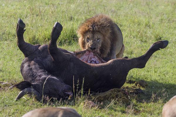 Pure Kraft. Beim Abziehen der Haut schleift der Löwe mal eben eine knappe Tonne Büffel mit sich