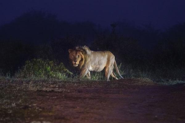 Ein Löwe früh morgens im Scheinwerferlicht