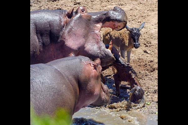 Obwohl das erste tote Kalb noch auf einem der großen Eckzähne vom Hippobullen feststeckt, versucht er bereits ein zweites am Ufer zu erbeuten