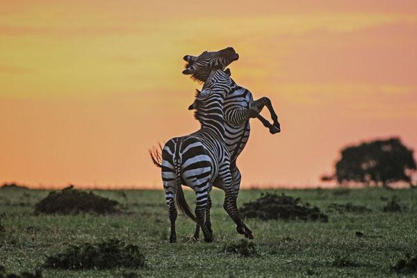Kämpfende Zebrahengste kurz vor Sonnenaufgang