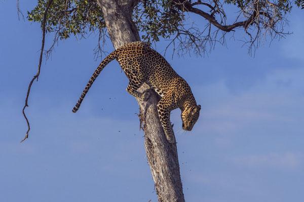 Ein junger Leopard beim Absteigen von einem Baum im besten Abendlicht
