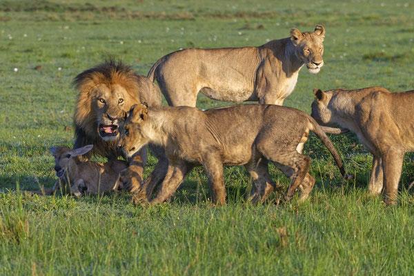 Löwenjagd Masai Mara