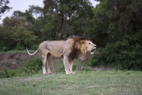 Dieser Löwe hat nicht bemerkt, dass sein Bruder den Taler-River durchquert hat und ruft nach ihm