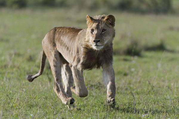 Ein halbstarker, sehr muskulöser Löwe im Spurt