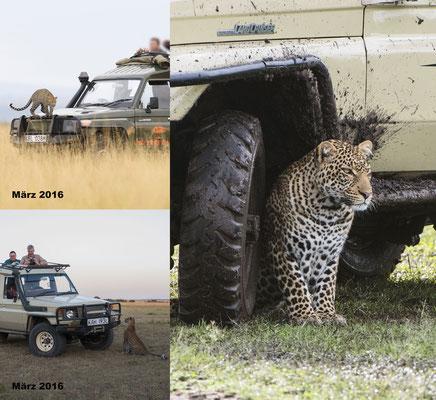 Der kleine, Auto-vernarrte Leopard vom letzten Jahr nutzt als Erwachsener die Fahrzeuge als Deckung bei der Jagd