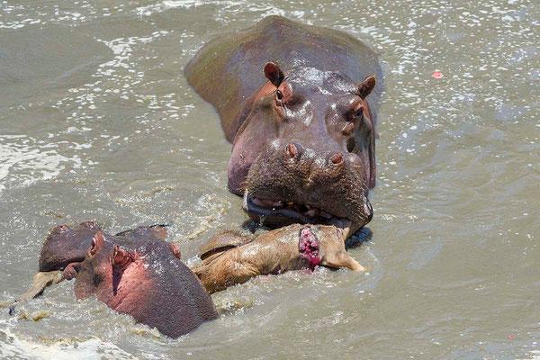 Another hippo comes around to help to tear the calves and to eat some of the meat Ein zweites Hippo kommt hinzu, um die Gnukälber zu zerfetzen und um Teile davon zu fressen ©Uwe Skrzypczak, D. M. Tours Photo Safari & Workshop Maasai Mara