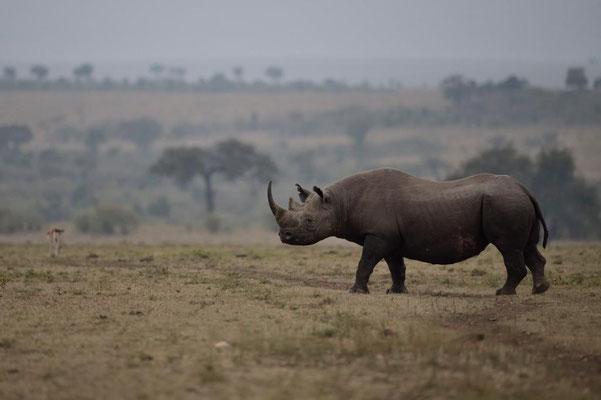Nashorn Masai Mara, fotografiert Fotosafari Uwe Skrzypczak