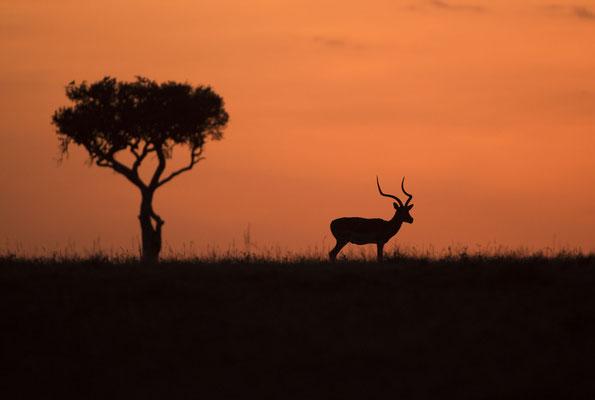 Ein Impala kurz vor dem Sonnenaufgang