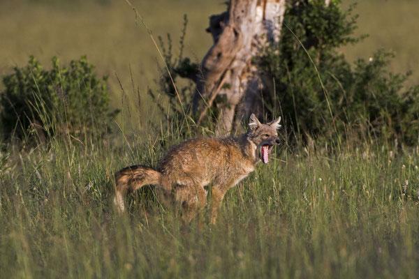 Muss auch in der Masai Mara