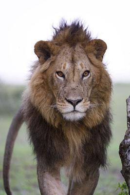 Ein junger Löwe aus dem Fig-Tree Rudel