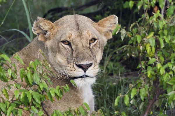 Eine Löwin mit Nachwuchs in ihrem Versteck in den Felsen nahe der Grenze zur Serengeti