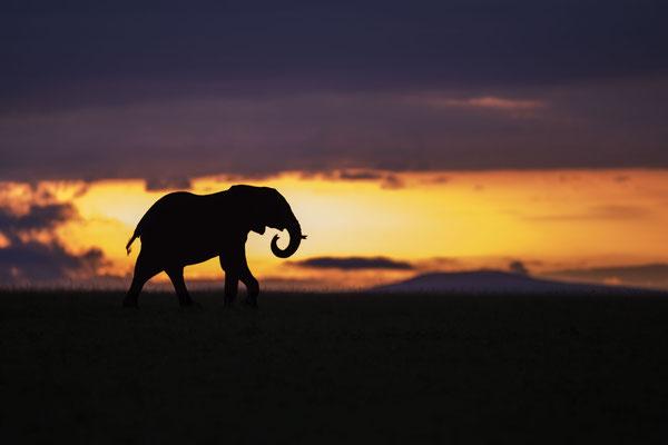 Ein Elefant vor einer Gewitterfront bei Sonnenaufgang
