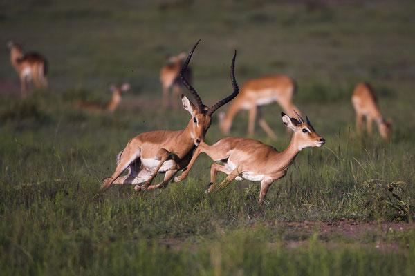 Ein Impalabock verscheucht einen jungen Rivalen aus seiner Herde